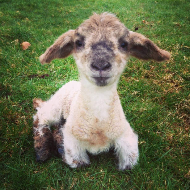 Smiling lamb anyone?